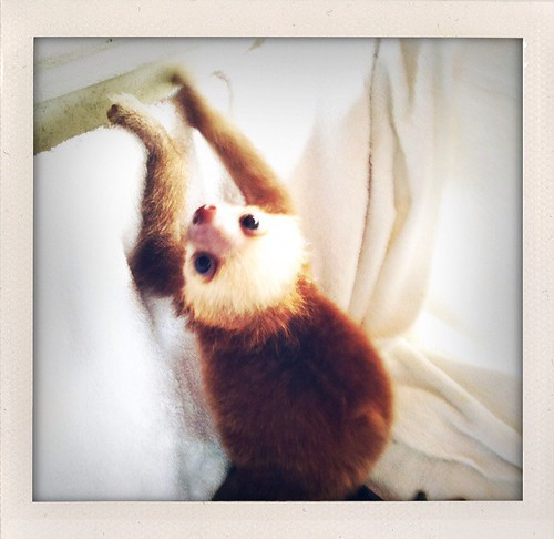 alphie the baby sloth