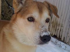 akita inu(0.0), west siberian laika(0.0), akita(0.0), canaan dog(0.0), street dog(0.0), shikoku(0.0), greenland dog(0.0), korean jindo dog(0.0), wolfdog(0.0), dog breed(1.0), animal(1.0), dog(1.0), shiba inu(1.0), pet(1.0), mammal(1.0),