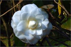 Camellia ~ a