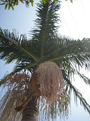 coconut(0.0), plant(0.0), wind(0.0), fruit(0.0), food(0.0), elaeis(0.0), date palm(1.0), arecales(1.0), borassus flabellifer(1.0), palm family(1.0), branch(1.0), tree(1.0), produce(1.0),