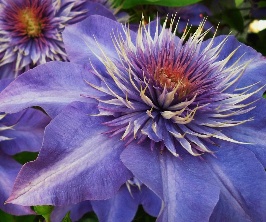 Clematis special , blau - Makro , 20 v