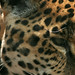 Small photo of Leopard