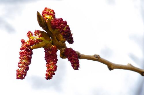 Black poplar catkins