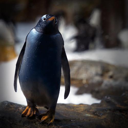 Pygoscelis   papua - Pingüino Papúa- Gentoo Penguin by havivi2007