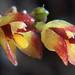 Panmorphia  paranaensis - 2010