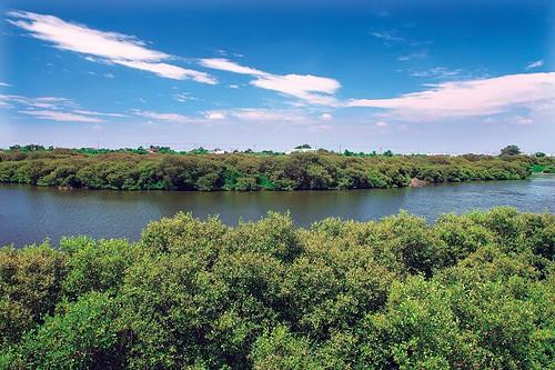 位於台南安平區鹽水溪南岸的海茄苳紅樹林,是百年前紅樹林原生地之一,當地紅樹林即受保育。(攝影:謝宗宇)