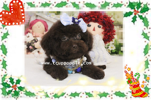 big teacup poodle#100