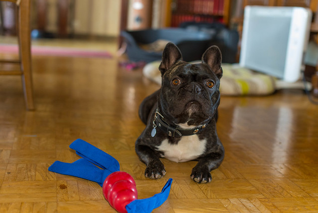 Griffin, bouledogue français, et son Kong Tails