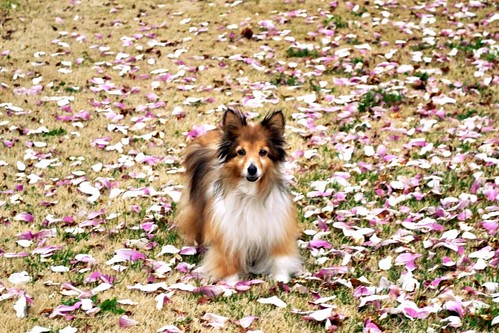 miniature sheltie lawrence kansas