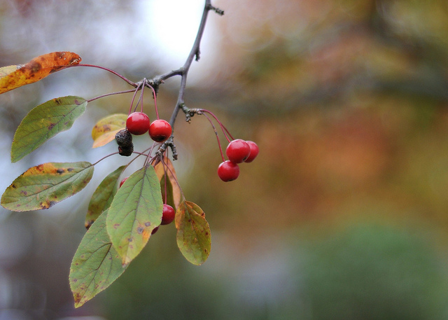November comes  and November goes,  With the last red berries  and the first white snows. by nushuz, on Flickr