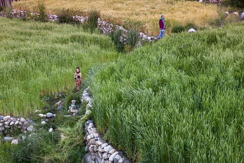 Barley fields, Baltistan