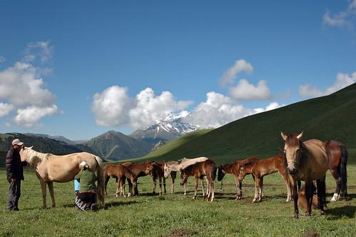 horse cheval milk mare pasture kyrgyz kyrgyzstan milking foal poulain jument kirghiz estive summerpasture kirghizstan koumiss maremilk estivage kymyss