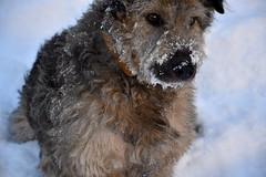 schnoodle(0.0), glen of imaal terrier(0.0), irish soft-coated wheaten terrier(0.0), airedale terrier(0.0), dog breed(1.0), animal(1.0), dog(1.0), pumi(1.0), snow(1.0), pet(1.0), bouvier des flandres(1.0), lakeland terrier(1.0), welsh terrier(1.0), cairn terrier(1.0), close-up(1.0), carnivoran(1.0), terrier(1.0),