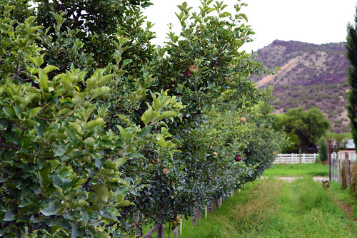 Fruit trees on Freshies Farm. USDA photo.