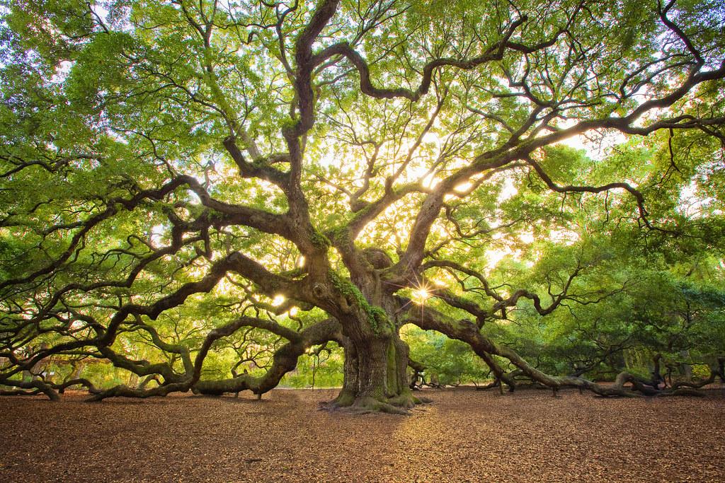 Angle Oak…...