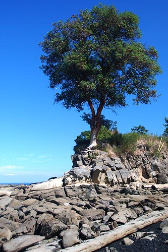 Arbutus Tree at Georgina Point, Mayne Island, Southern Gulf Islands, British Columbia