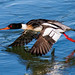 Red Breasted Merganser Male by arthurjsteinberger