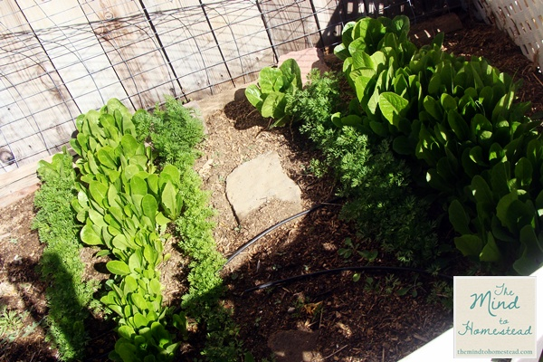 Lettuce and Carrots - The Mind to Homestead