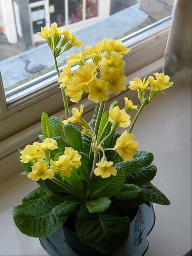 real primula leaves