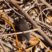 Monterey Ornate Shrew - Photo (c) J. Maughn, some rights reserved (CC BY-NC)