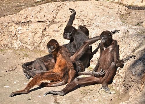 mammal zoo monkey texas primate spidermonkey brownsville gladysporterzoo atelespaniscuschamek nikond7000 nikkor18to200mmvrlens