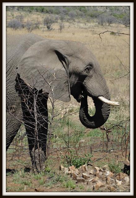 BIG 5 - Elephant