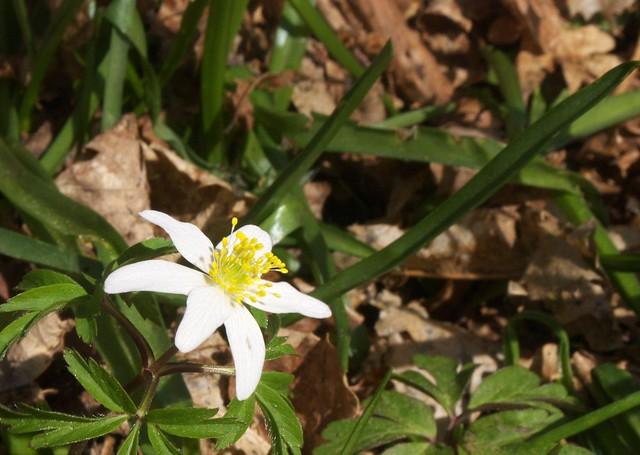 DSC_8190 Wood Anemone