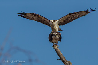 Ospreys in the act  4-2014