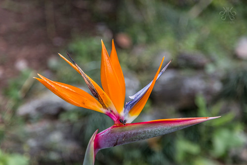FlowerOfSikkim-Gangtok-KaynatKaziPhotography-2015-6038