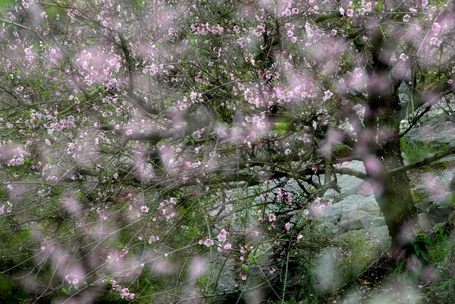 Peach Flowers 桃花