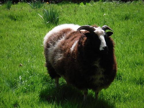 Sheep, Isfield