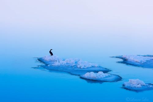 icelandbirds cormoran