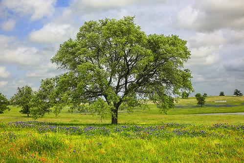 texas chappellhill washingtoncounty wildflowers field tree postoak pond bluebonnets indianpaintbrush clouds cloudscape landscape sky spring lupinustexensis texaslupine texasbluebonnet quercusstellata castillejaindivisa wyojones np