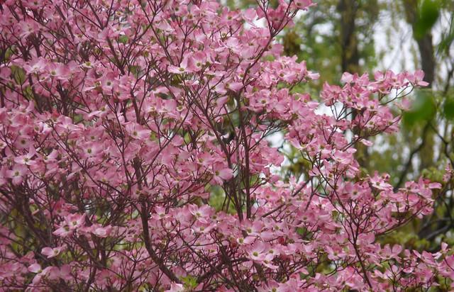 Dogwood Blossoms, Panasonic DMC-FZ35
