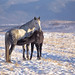Horse foal suckling from mare in in a snowy meadow