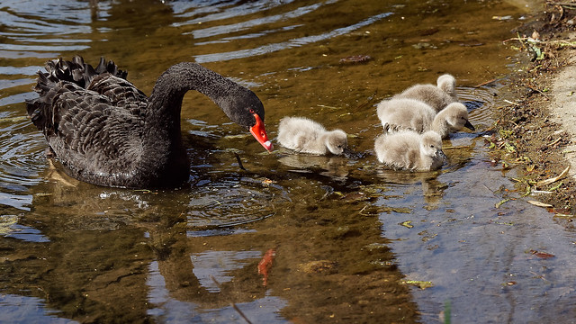 Black swan (3) : mom not happy with me