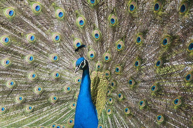 Blue Peacock -  Pavo Cristatus - with Feathers Displayed in a Fan