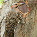 Pic flamboyant ♂ / Northern Flicker