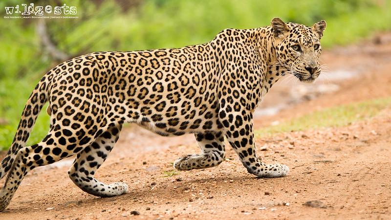 Leopard - Male