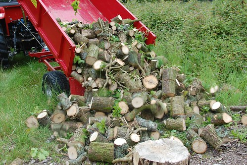 a fallen oak is harvested for firewood
