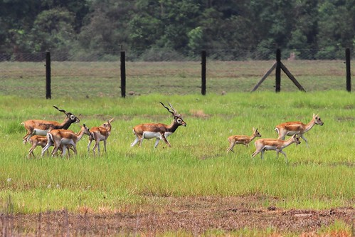 The number of blackbucks has increased from 28 to 32 ©WWF Nepal/ Pallavi Dhakal