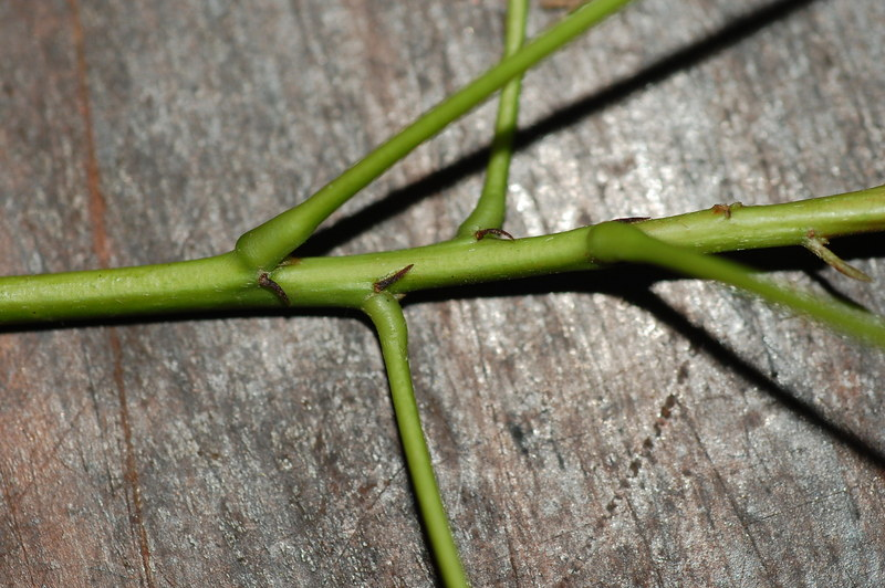 Elaeocarpus culminicola DRO28 DSC_0769