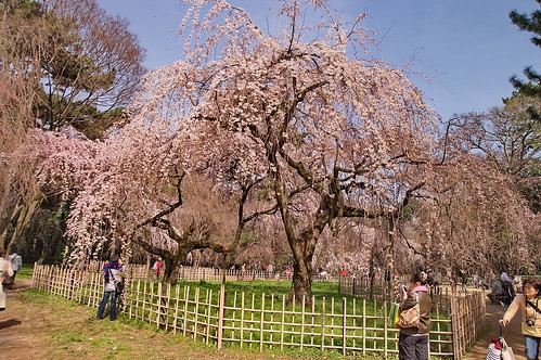 【写真】2013 桜 : 京都御苑/2020-10-30/IMGP8682