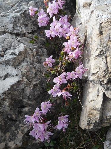 Dolomite Cinquefoil (Potentilla nitida)