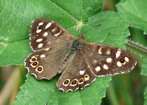 Speckled Wood - Pararage aegeria