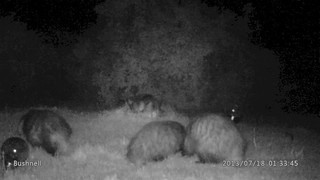 Two Badgers cubs and three Pine Marten kits