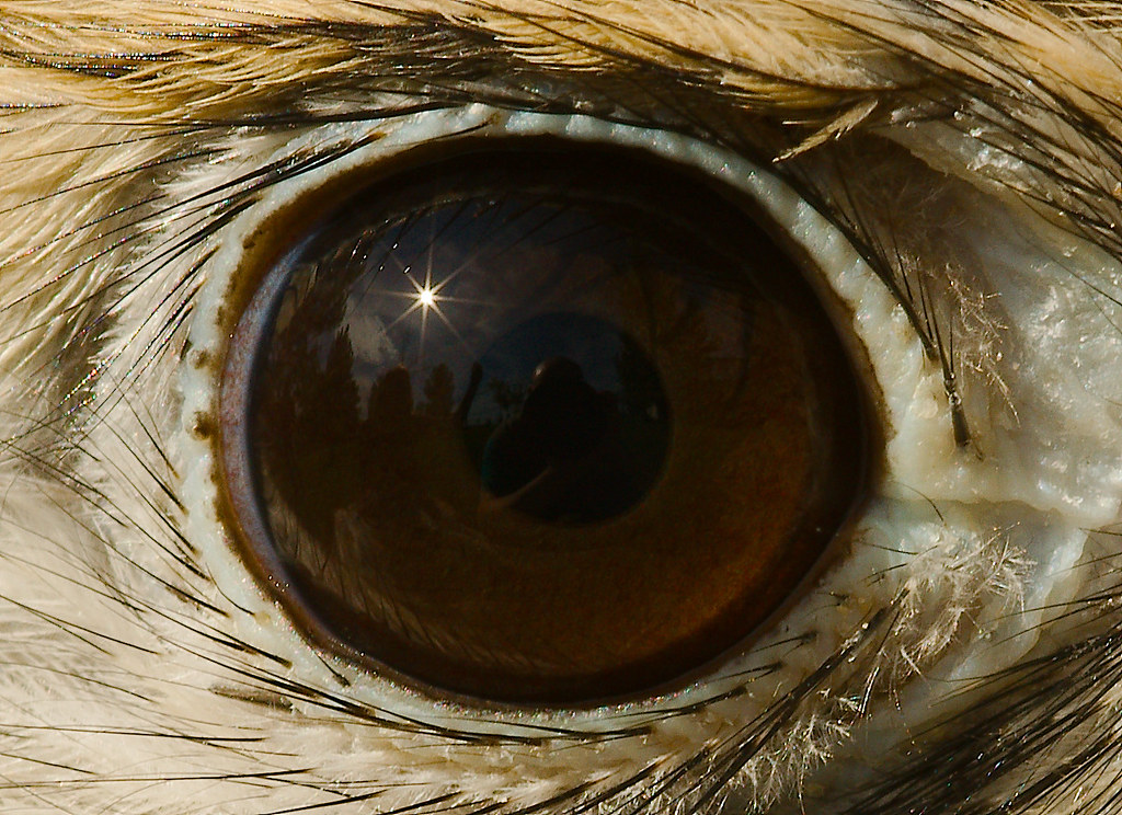 American Kestrel (Falco sparverius)_49
