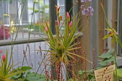 Roridulaceae