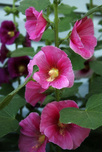 Hollyhocks V