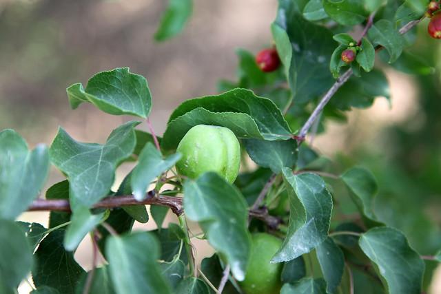 Young green apricot in Shanshan (Piqan) County ルクチュン、熟す前の青い杏
